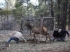 elk-in-trap-with-biologists