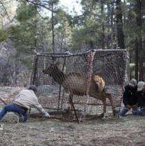 Northern Arizona Elk Getting The Collar